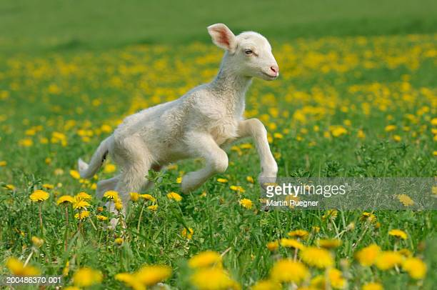 merino lamb (ovis aries)running in meadow - feuille de pissenlit photos et images de collection