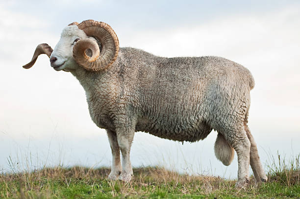 free ram animal images pictures and royalty free stock photos