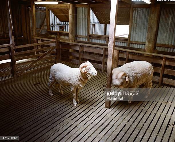 Merino rams in shed