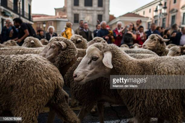 Merino sheep crossing the streets of downtown Madrid for the annual transhumance festival.