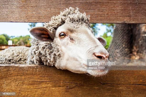 Merino Sheep on farm in West Australia