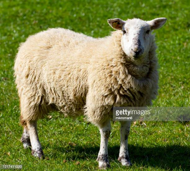 merino sheep - cute stock pictures, royalty-free photos & images