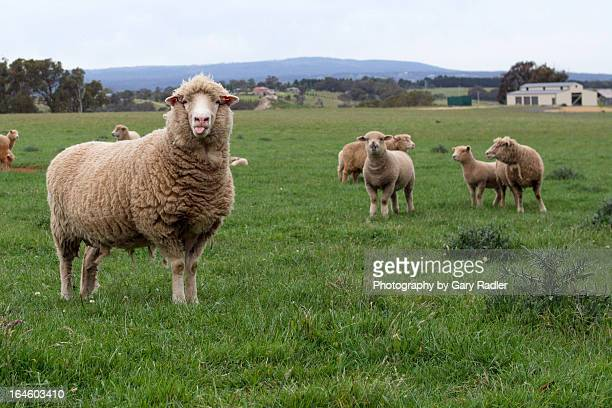 Merino Sheep Poking Out Its Tongue