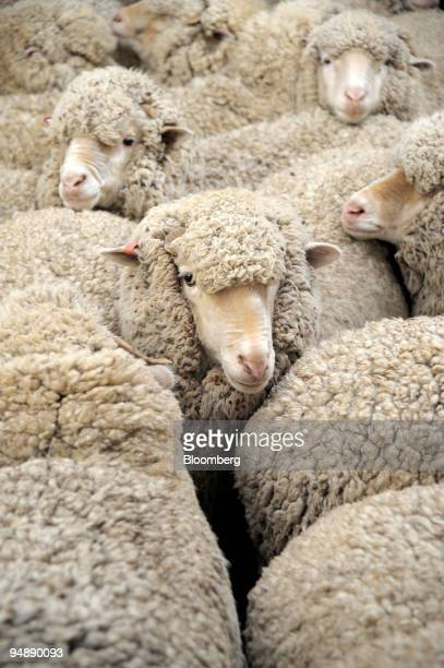Merino sheep that were mulesed as lambs are held in a pen prior to being shorn at a farm in Avalon outside Melbourne Australia on Friday May 30 2008...
