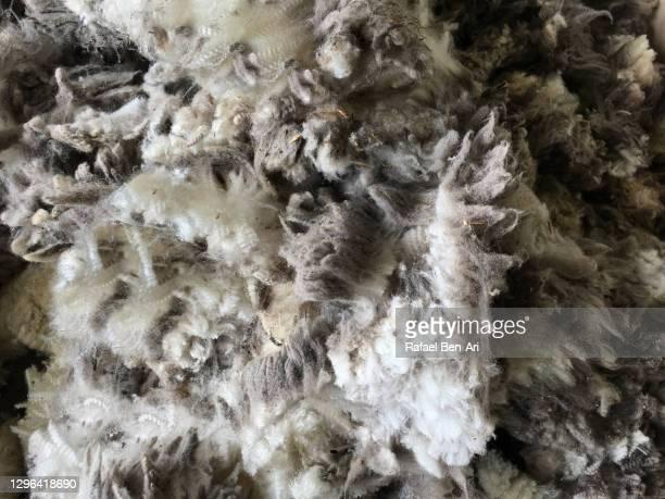 merino sheep wool - rafael ben ari - fotografias e filmes do acervo