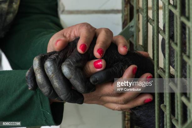Merivan Miranda chimpanzee caretaker of the Great Apes Project holds hands with a chimpanzee at a sanctuary for apes in Sorocaba some 100km west of...