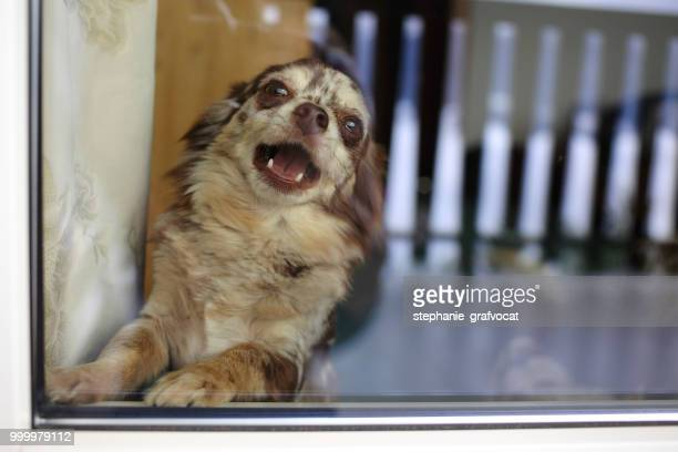 merle chihuahua dog barking behind window - lap dog stock pictures, royalty-free photos & images