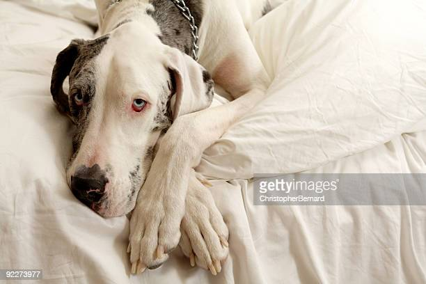 merle great dane - great dane stock pictures, royalty-free photos & images