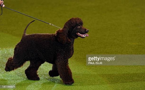 Merlin an Irish Water Spaniel is paraded during the Best in Show category of the Crufts Dog Show at The National Exhibition Centre in Birmingham...
