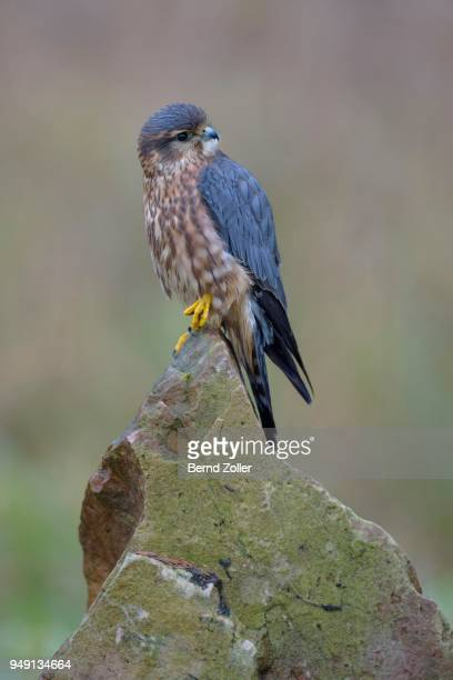 merlin (falco columbarius), male resting on rock, frankfurt rhine-main, baden-wuerttemberg, germany - male animal stock photos and pictures