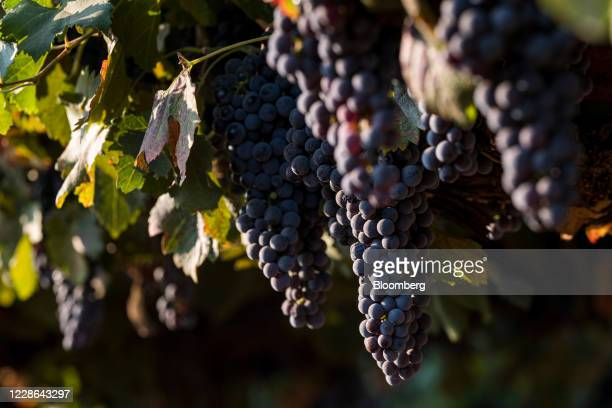 Merlot grapes grow on a vine at a vineyard in Kenwood California US on Monday Sept 21 2020 Smoke from the LNU Lightning Complex wildfires may have...