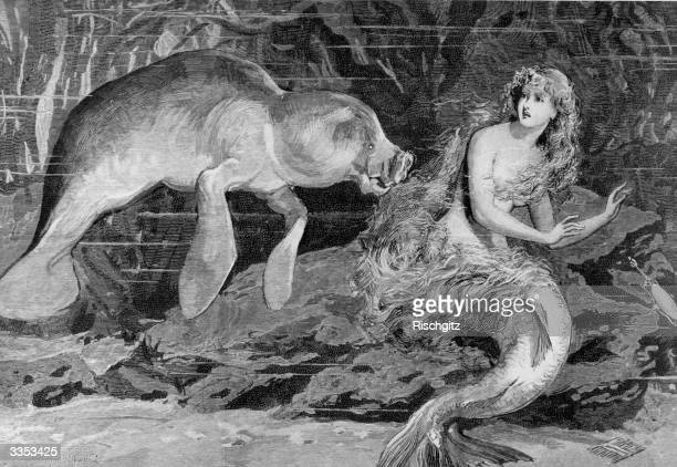 A mermaid is startled by a manatee or sea cow The manatee has long been thought to have inspired the stories of mermaid sightings A newspaper...