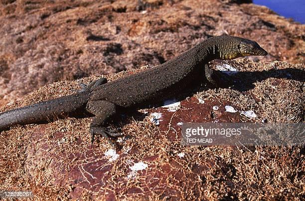 mertens water goanna on rocks - mertens stock pictures, royalty-free photos & images