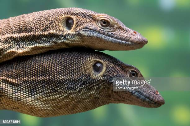 mertens water monitor - mertens stock pictures, royalty-free photos & images