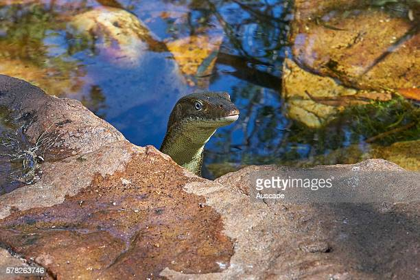 Mertens water monitor Varanus mertensi Litchfield National Park Northern Territory Australia