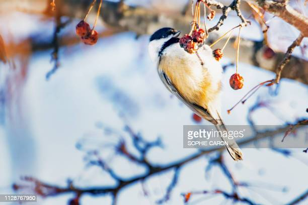 mesange et d ' hiver früchte - sans mise au point stock-fotos und bilder