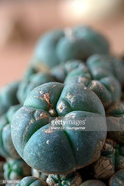 mescal buttons, peyote -lophophora williamsii, forma caespitosa-, growing at 1500m altitude, miquihuana, estado de tamaulipas, tamaulipas, mexico - forma stock pictures, royalty-free photos & images