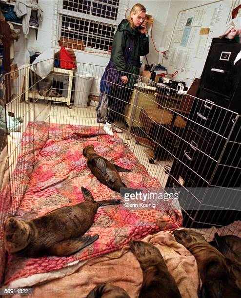 Sea Lions.Ann.0206.GK–Ann Bull in her office that has been converted into a pen to house Sea Lion Pups. Ann is the director of the Sea Lion Marine...