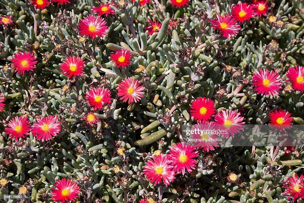Mesembryanthemum plant with red and yellow flowers pictures getty mesembryanthemum plant with red and yellow flowers lanzarote canary islands spain mightylinksfo