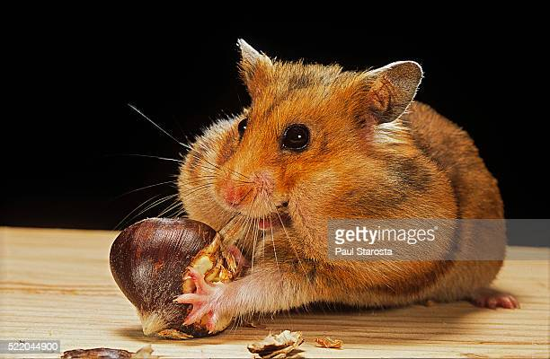 mesocricetus auratus (golden hamster, syrian hamster) - feeding on a chestnut - cheek stock pictures, royalty-free photos & images