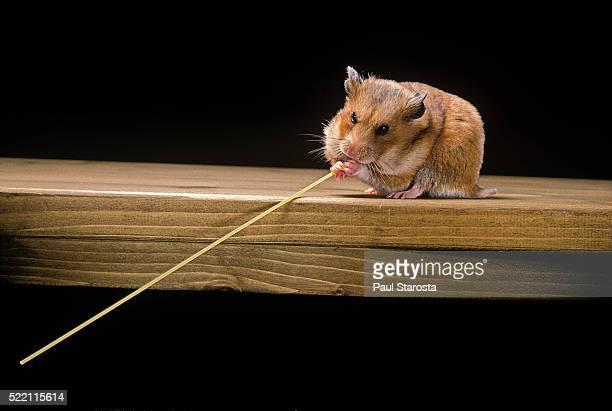 mesocricetus auratus (golden hamster, syrian hamster) - feeding on a spaghetti strand - einzelnes tier stock-fotos und bilder