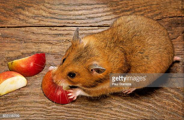 mesocricetus auratus (golden hamster, syrian hamster) - feeding on an apple - golden hamster stock pictures, royalty-free photos & images