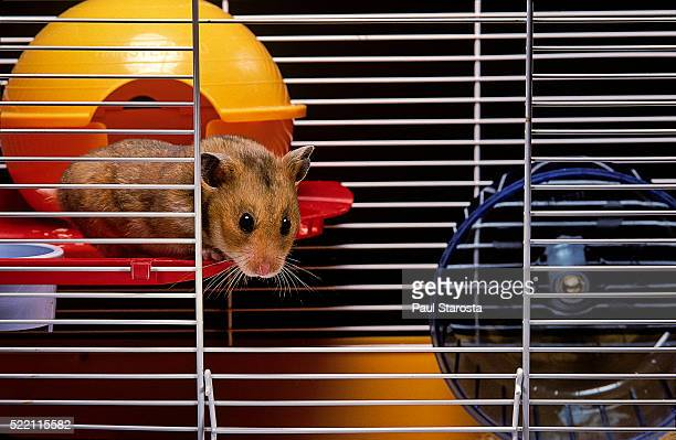 Mesocricetus auratus (golden hamster, Syrian hamster) - in its cage