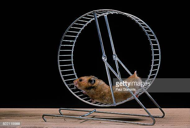 Mesocricetus auratus (golden hamster, Syrian hamster) - in its wheel