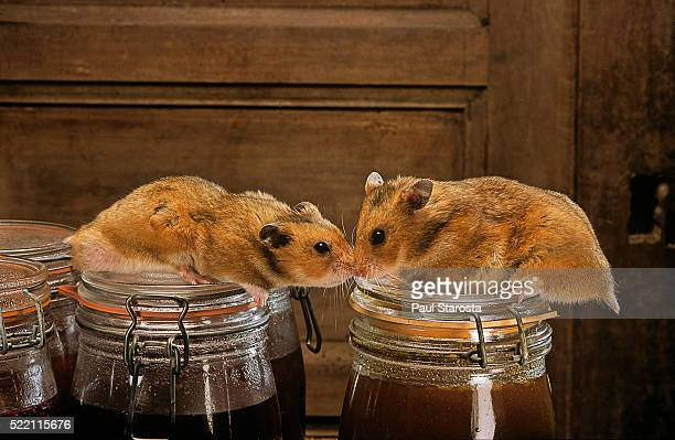 mesocricetus auratus (golden hamster, syrian hamster) - pair - golden hamster stock pictures, royalty-free photos & images