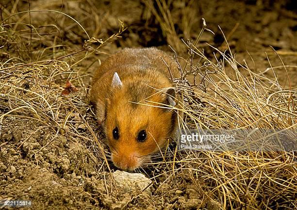 Mesocricetus auratus (golden hamster, Syrian hamster)