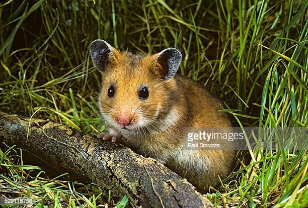 mesocricetus auratus (golden hamster, syrian hamster) - portrait - hamster stock-fotos und bilder