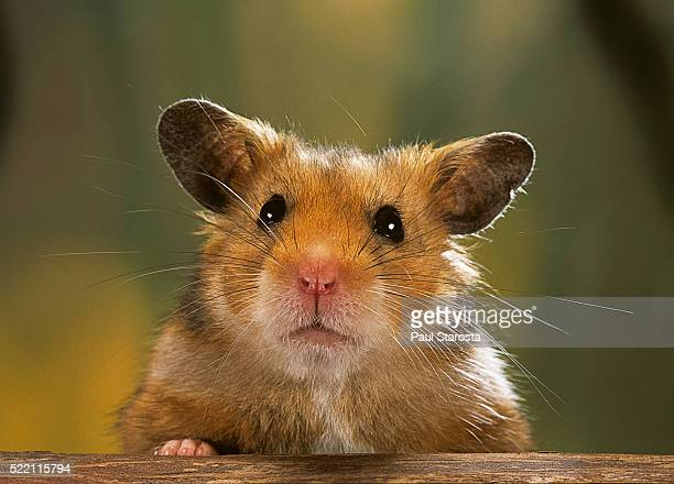 mesocricetus auratus (golden hamster, syrian hamster) - portrait - hamster photos et images de collection