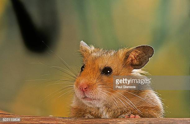mesocricetus auratus (golden hamster, syrian hamster) - portrait - golden hamster stock pictures, royalty-free photos & images
