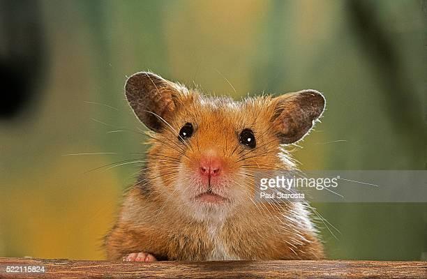Mesocricetus auratus (golden hamster, Syrian hamster) - portrait