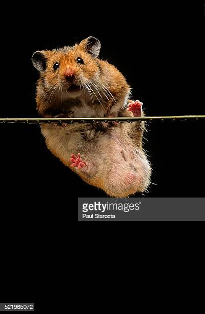 mesocricetus auratus (golden hamster, syrian hamster) - pulling itself up - hamster photos et images de collection