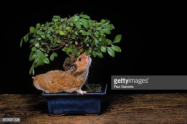mesocricetus auratus (golden hamster, syrian hamster) - tasting a bonsai - golden hamster stock pictures, royalty-free photos & images
