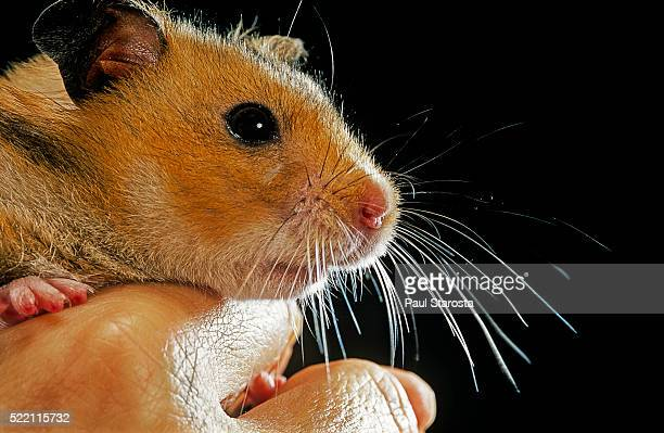 30 Top Hamsters Images Pictures, Photos and Images - Getty