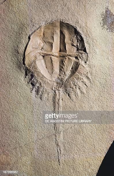 Mesolimulus walchii fossil Xiphosura Late Jurassic Epoch