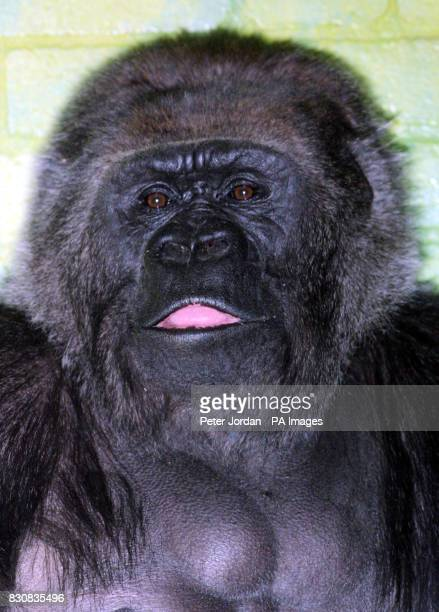 Messy 29 years old one of four female gorillas hoping to mate with Jock18yrs London Zoo's new male gorilla who arrived from a French Zoo on...