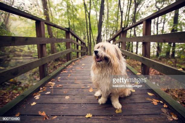 A messy and wet dog on a small wooden bridge
