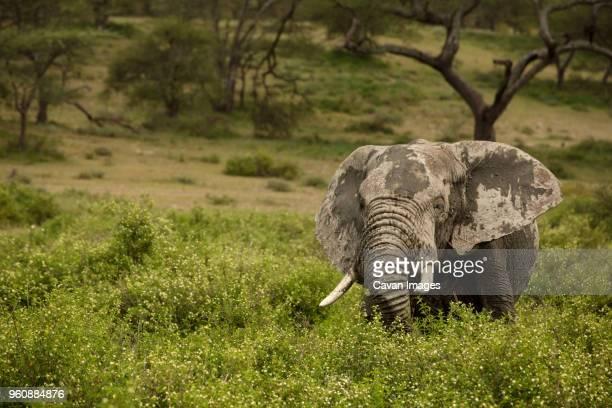 messy elephant amidst plants on field - säugetier stock-fotos und bilder
