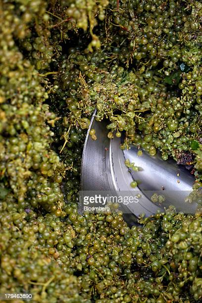 A metal blade mashes freshly harvested grapes picked for their use in Prosecco wine at I Magredi vineyard in Pordenone Italy on Tuesday Sept 3 2013...