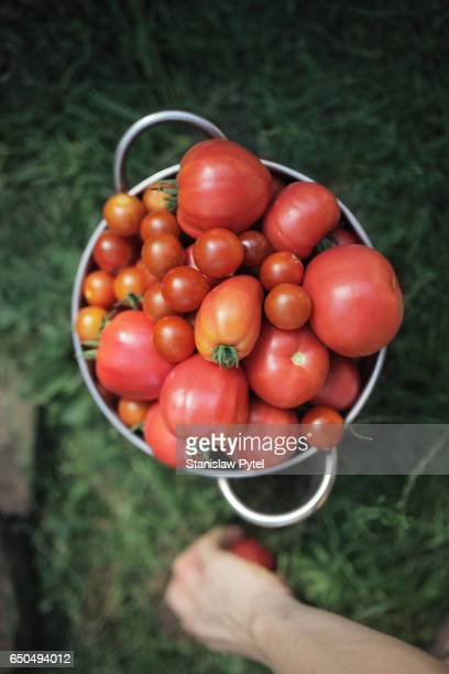 Metal bowl full of tomatos , ecological greenhouse