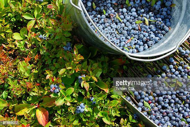 a metal bucket of blueberries and a bush - maine stock pictures, royalty-free photos & images