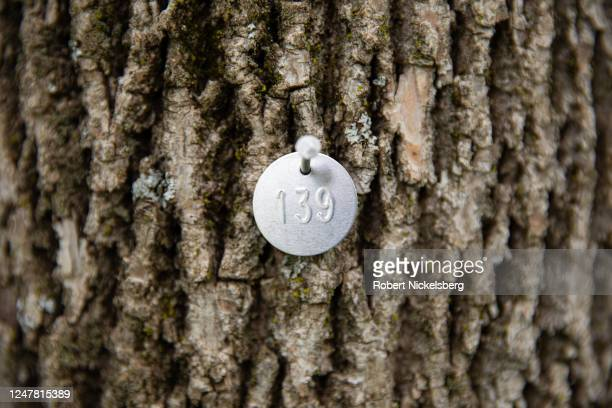 Metal identification tag is placed on an ash tree by an arborist for treatment with an insecticide preventing the emerald ash borer insect from...