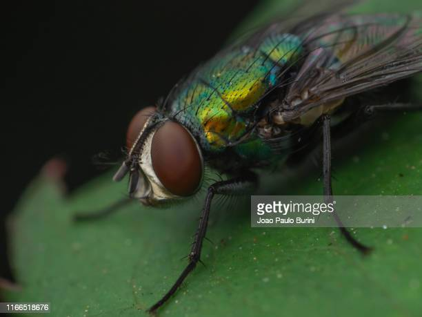 metallic bottle fly close-up - sorocaba stock pictures, royalty-free photos & images