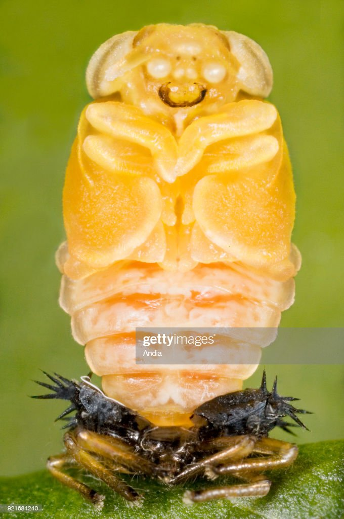 Metamorphosis of a ladybug. : News Photo