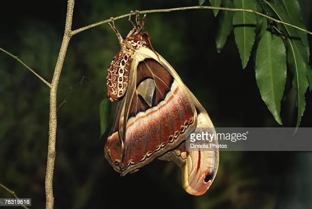 Metamorphosis of Atlas Moth