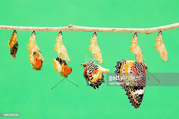 metamorphosis of butterfly - appearance stock photos and pictures