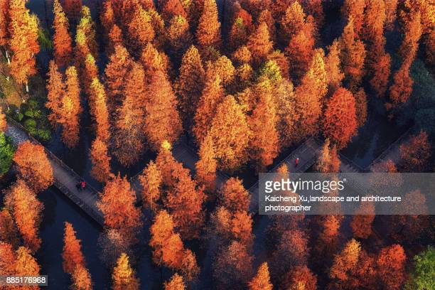 metasequoia trail in autumn - changzhou stock pictures, royalty-free photos & images